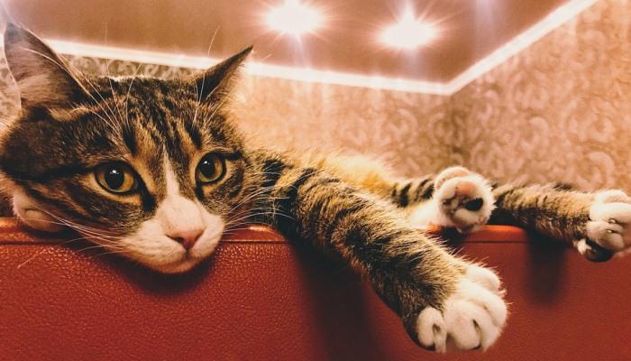 gatos que salen en los sueños
