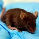 Soñar con ratas