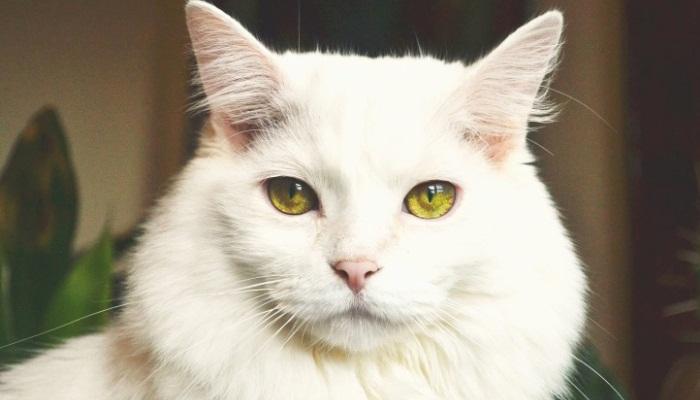 Soñar Con Un Gato Blanco