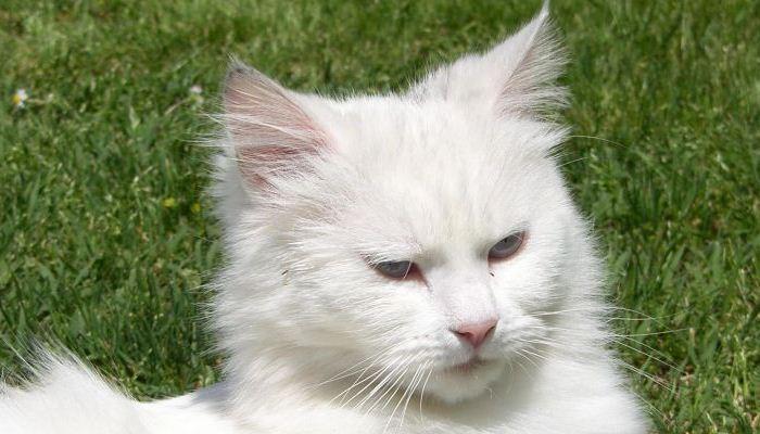 Soñar Con Gatos De Color Blanco