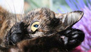 soñar con un felino enfermo o que se encuentra en mal