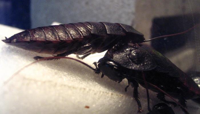 Cucaracha Negra En Tu Sueño